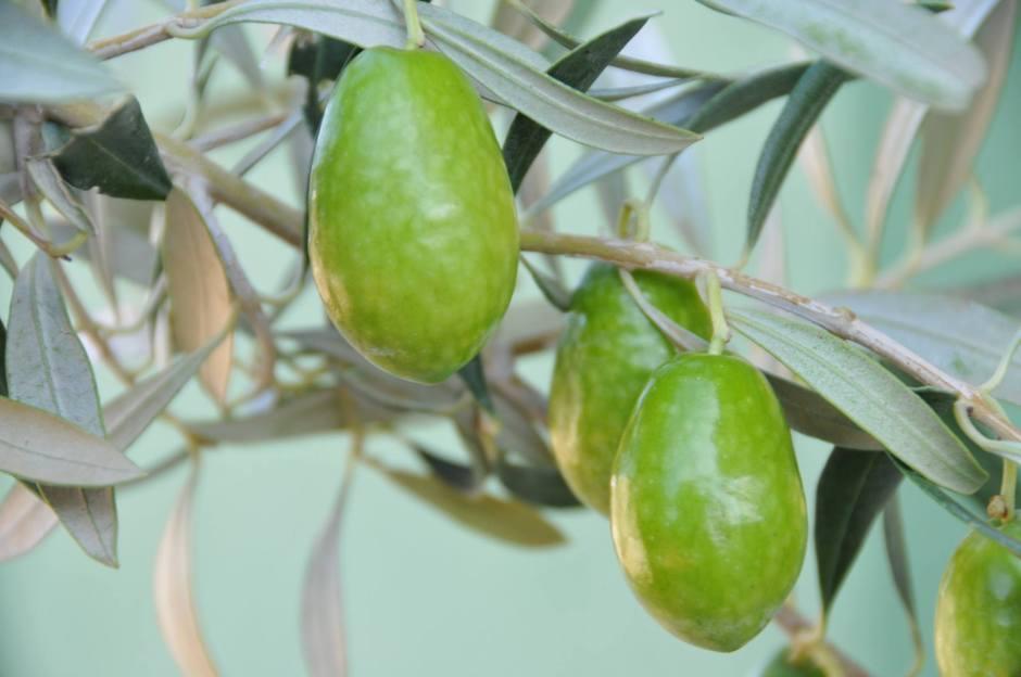 organik-naturel-sizma-zeytin-yagi-0532-371-68-26-cam-sise-teneke-kutu-zeytinyagi-sabunu-losyonu-kremi-9